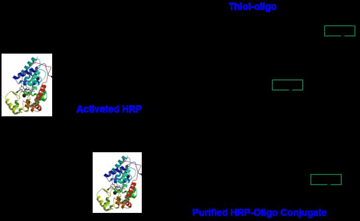cm53402-hrp-oligo-thiol-conjugation.png